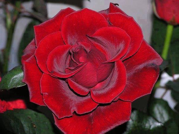 A morning flowers, Beautiful red roses !