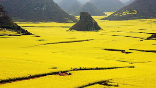 Image result for Canola Flower Field, di Luoping Cina