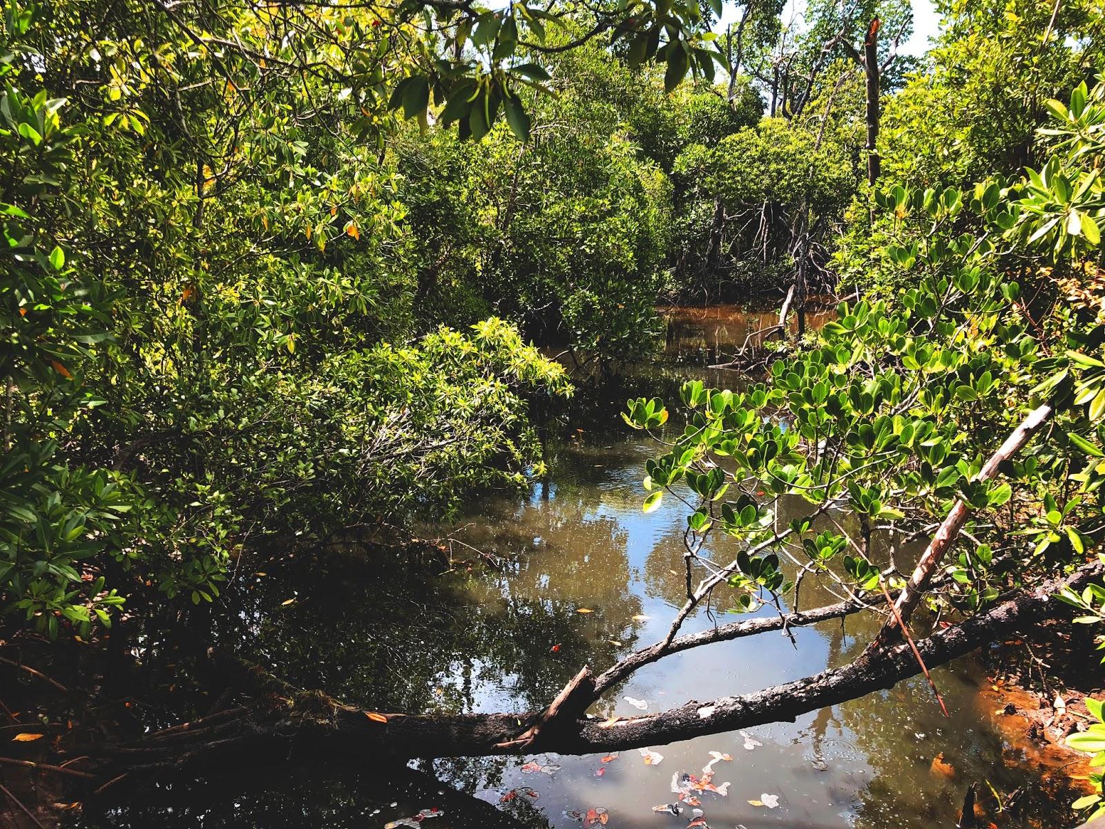 Brązowa mała rzeka w australijskim miasteczku Mission Beach. Połamane gałęzie i gęste krzewy jakie rosną dookoła sięgają wody. Widok podróżnika patrzecągo z małego mostku.