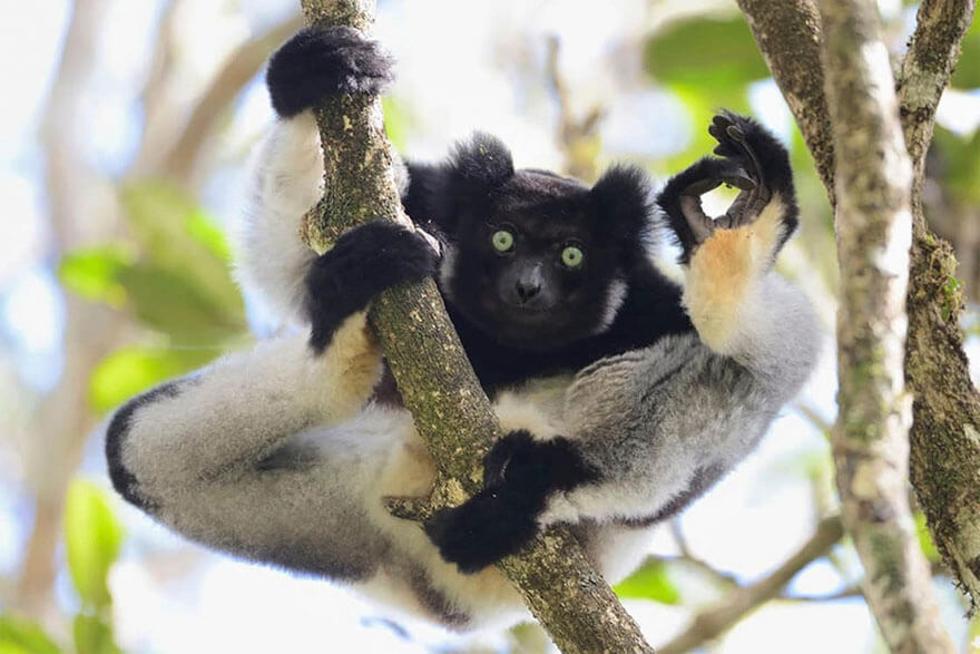 14 Entries To The 2017 Comedy Wildlife Photography Awards That Will Make You Laugh Your Heart Out - I'm Ok, Analamazaotra Special Reserve, Madagascar By Yamamoto Tsuneo