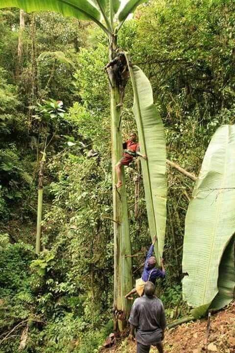 Di Pedalaman Papua ada Pohon Pisang terbesar di Dunia