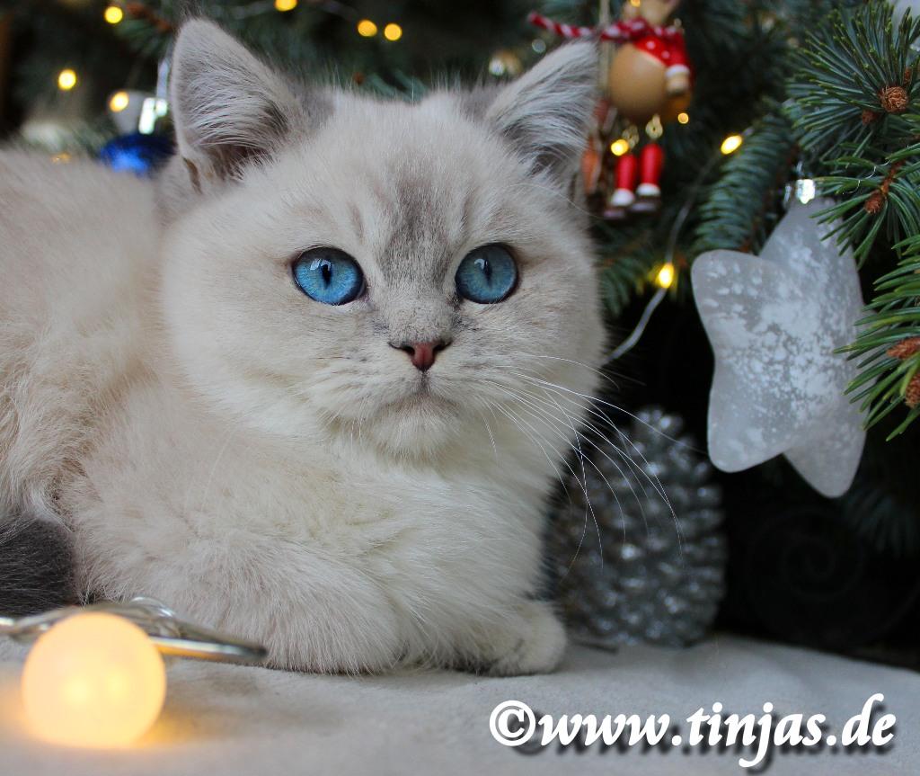 Katzenbaby Britisch Kurzhaar