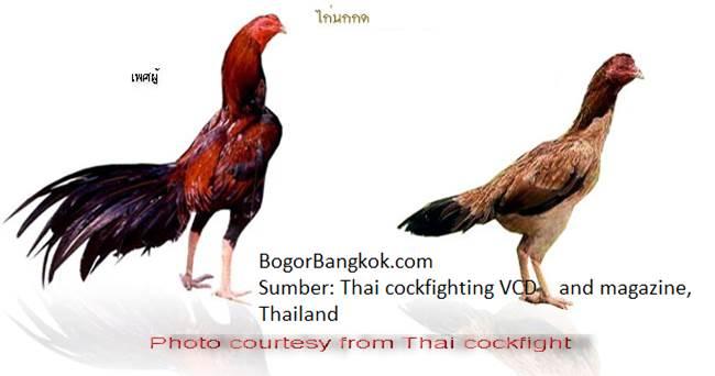 kumpulan contoh gambar sketsa ayam jago bangkok