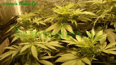 plantas marihuana armario cultivo