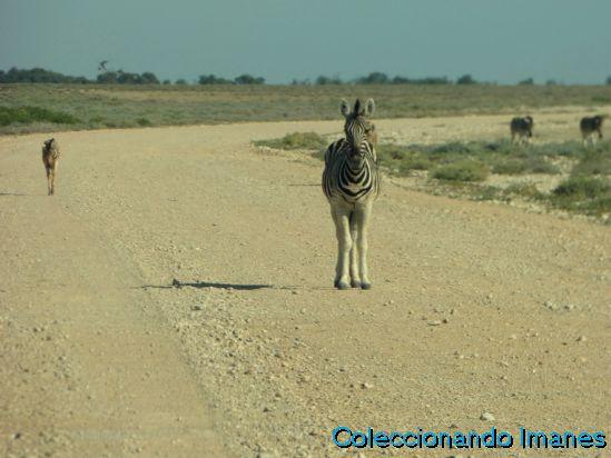 Etosha Animales Namibia Safari Cebras