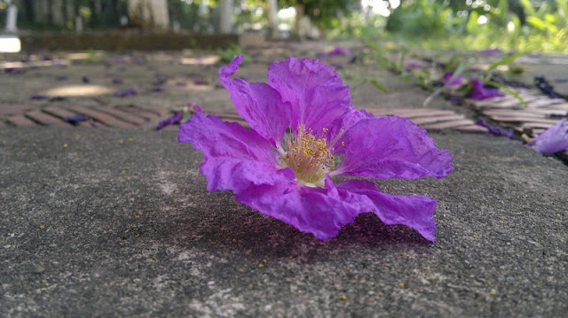 Purple Lagerstroemia flowers bloom to welcome summer season in Hanoi 3