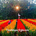 Taman bunga Celosia pantai Kukup_taman bunga ngehits di Gunungkidul
