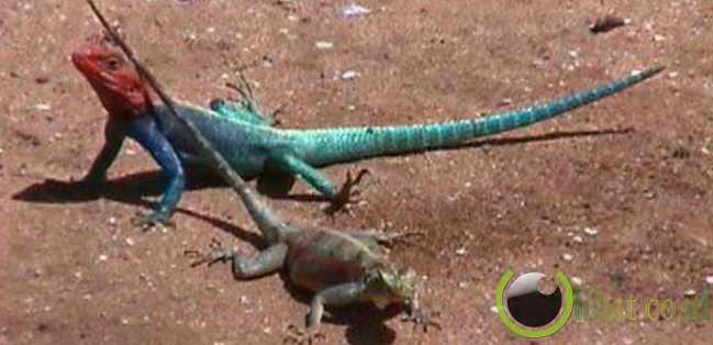 African blue-headed lizard (Kadal Afrika Berkepala Biru)