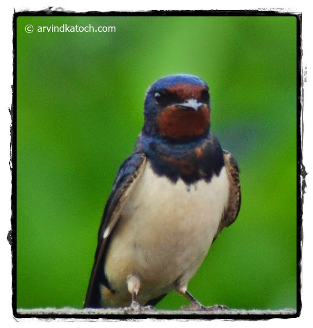 Barn Swallow,