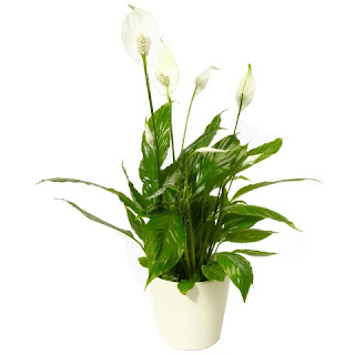 Tanaman hiasPeace lily (Spathiphyllum sp.) | Tukang Taman Jakarta