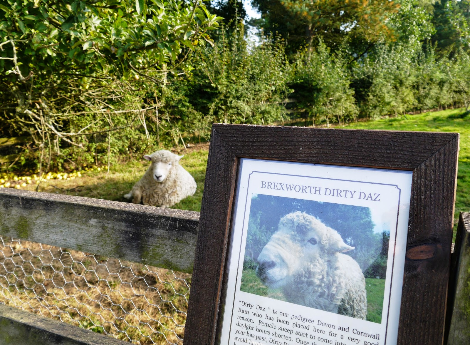 The Lost Gardens of Heligan, Cornwall - Dirty Daz the sheep