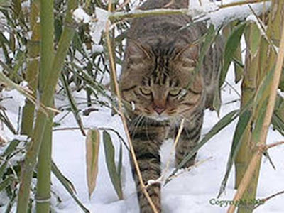 Li Hua or Dragon Li cat