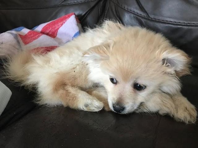 The nine-week-old Pomeranian had two broken legs