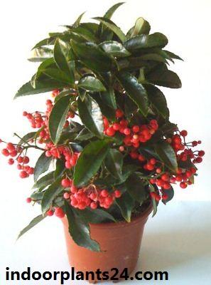 Ardisia crenata Myrsinaceae