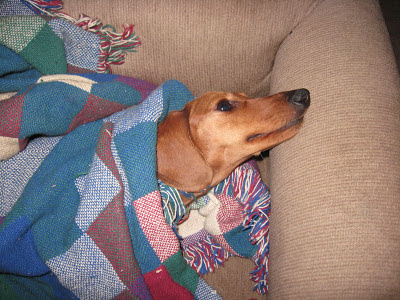 dachshund, dog, Tammy
