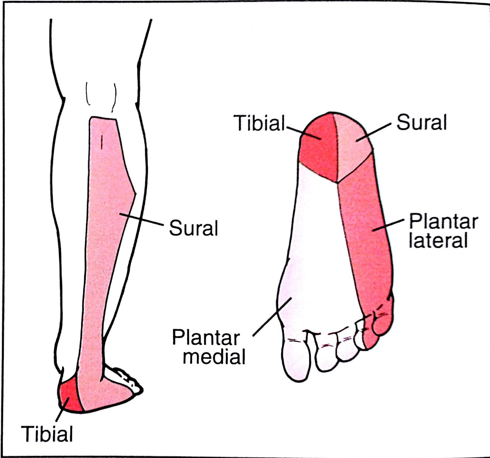 Fantástico Dermatoma Nervio Sural Patrón - Anatomía de Las ...