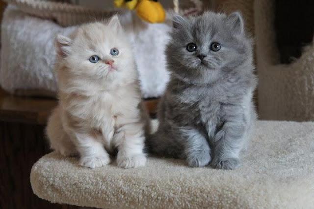 Kinh nghiệm, cách nuôi mèo Anh lông ngắn (Aln) & Mèo Anh lông dài (Ald)