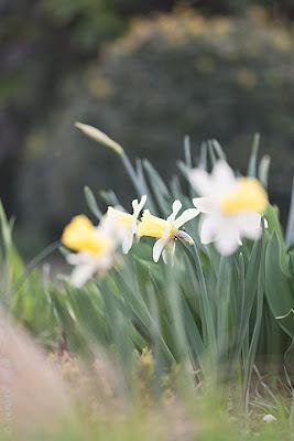 Narzissen, Schneeglöckchen und Zierlauch sind langlebige Zwiebelfpflanzen für pflegeleichte Blumenbeete