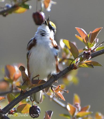 A Bestiary ~ Songbirds : Warblers