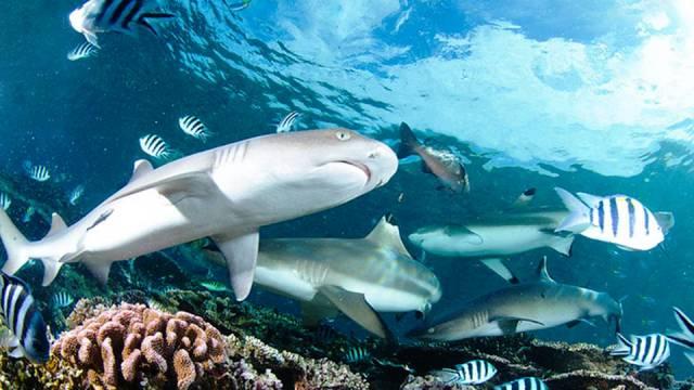 ท่องเที่ยว, แนวหินปะการัง, มัลดีฟส์, สถานที่ดำน้ำ, สถานดำน้ำทั่วโลก, อันดับสถานที่ดำน้ำ, เบคา ลากูน ฟิจิ (Beqa Lagoon, Fiji)