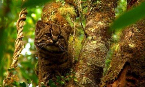 Está en peligro el felino más pequeño de América