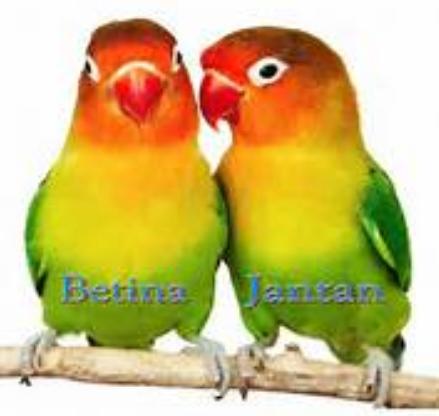 CIRI LOVE BIRD JANTAN DAN BETINA - BETERNAK DAN MENANAM