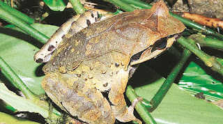 Four new horned frogs discovered in Northeast Himalayas