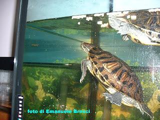 Allevamento amatoriale tartarughe acquatiche dalle for Vaschette tartarughe