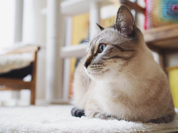 シャムトラ猫の横顔