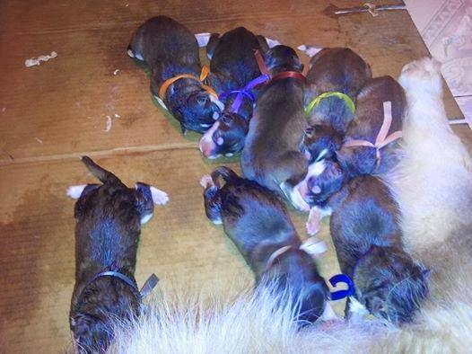 Đàn alaska 8 con bố Alaska Phi Tặc mẹ Su Su