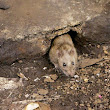 The River Seers: Rats! (Hurricane Sandy)