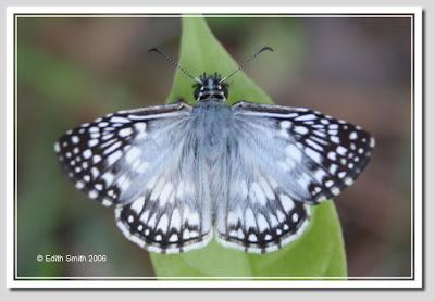 Mariposa ajedrezada Pyrgus oileus
