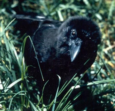 Snow Branches: On Formerly Hating Crows (and Other Murderers)