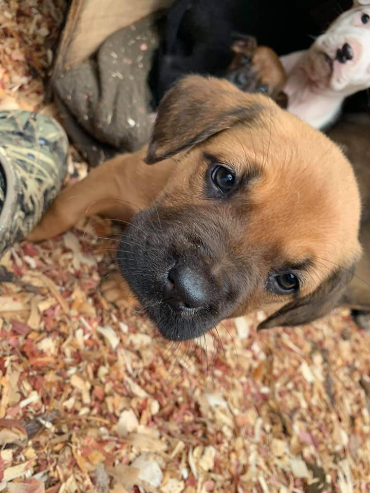 Adopt these Boxador Puppies for Free | Free Dogs and Puppies