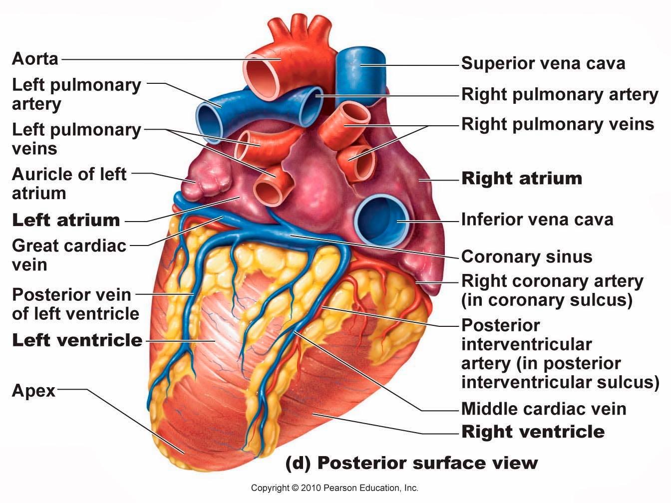 large heart diagram label apc mini chopper wiring anatomy free engine image for
