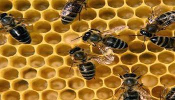 Рабочая пчела в течение своей жизни выполняет разные виды работ.