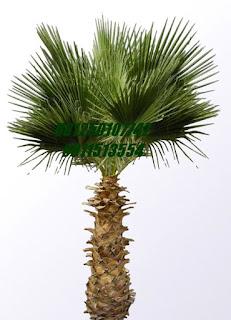 Palm Brahea | Jasa Tukang Taman Surabaya