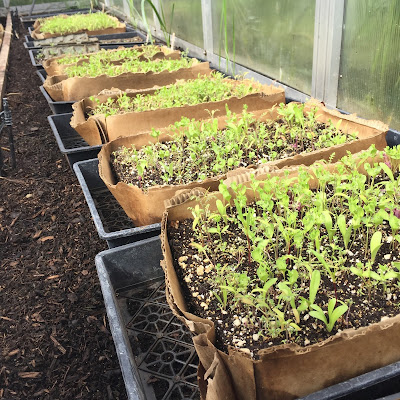 Image of wildflower seedlings growing in shallow boxes.