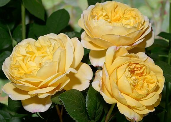 Charles Darwin роза сорт