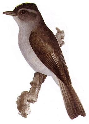 Tuquito gris Empidonomus aurantioatrocristatus