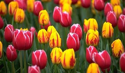 80 Gambar Ragam Hias Bunga Tulip Terlihat Keren