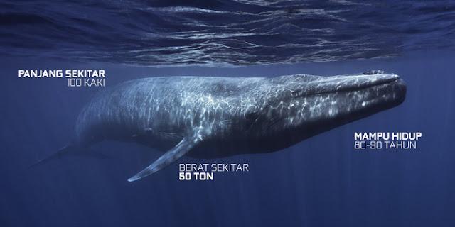 Blue Whale mampu hidup 80-90 tahun