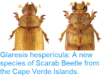https://sciencythoughts.blogspot.com/2018/11/glaresis-hespericula-new-species-of.html