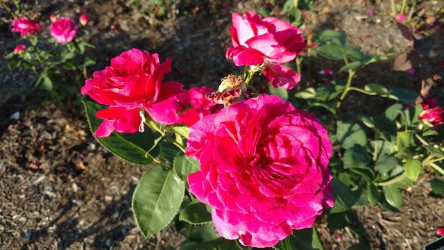 Сад Троянд Рудольфа В. Ван Дер Гута, Сомерсет, Нью-Джерсі (Rudolf W. van der Goot Rose Garden, Somerset, NJ)