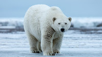 Polar Bear photo_Ursus maritimus