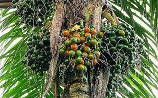 palma-del-bactris-gasipaes