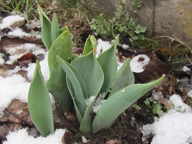 Foglie Tulipano