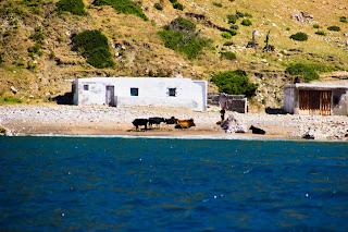 Vacas en la Playa Marruecos