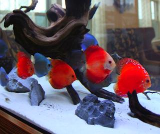 Cara budidaya ikan hias discus di akuarium