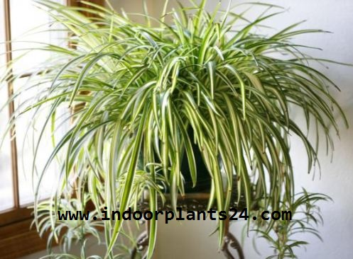 Liliaceae  SPIDER PLANT indoor house plant picture